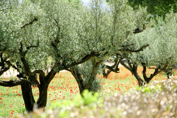 Provence - Oliviers